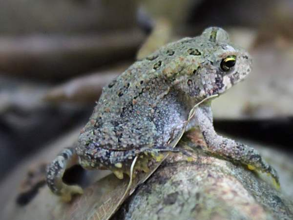 picture of an American toad for the frogs section