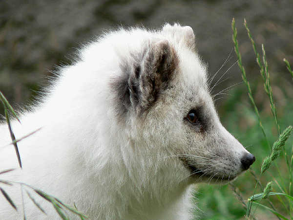 picture of an Arctic fox