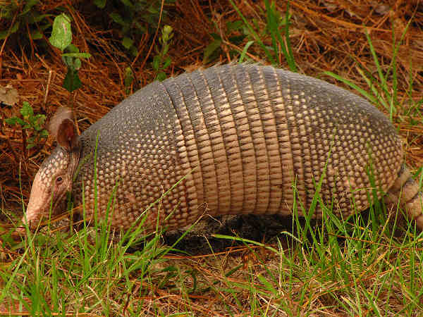 picture of a nine banded armadillo in Texas