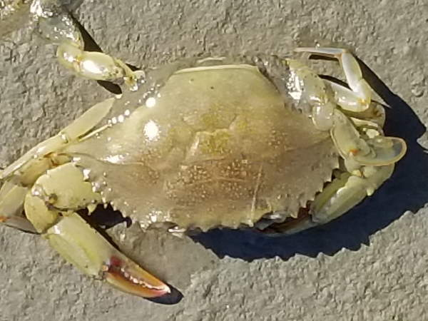 Atlantic Blue crab, Callinectes sapidus, crab pictures