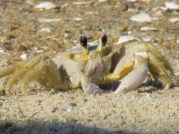 Atlantic Ghost crab, crab pictures