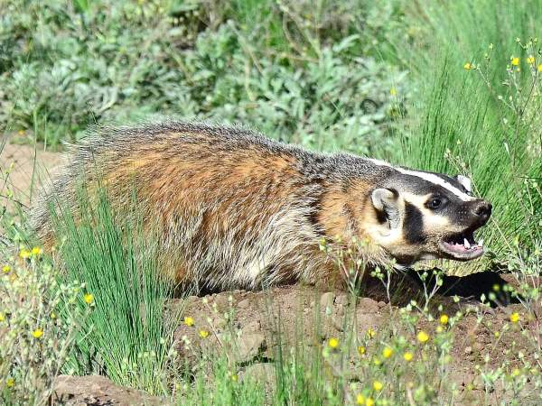 picture of a badger in New Mexico, New Mexico animals, credit Larry Lamas, Flickr