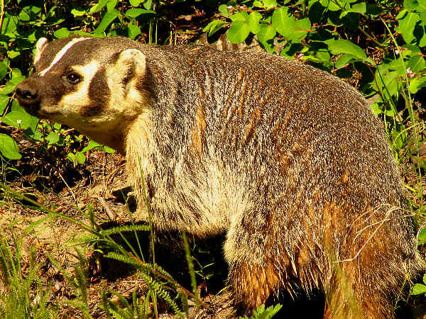 picture of a badger walking down the side of a dirt road on a sunny day