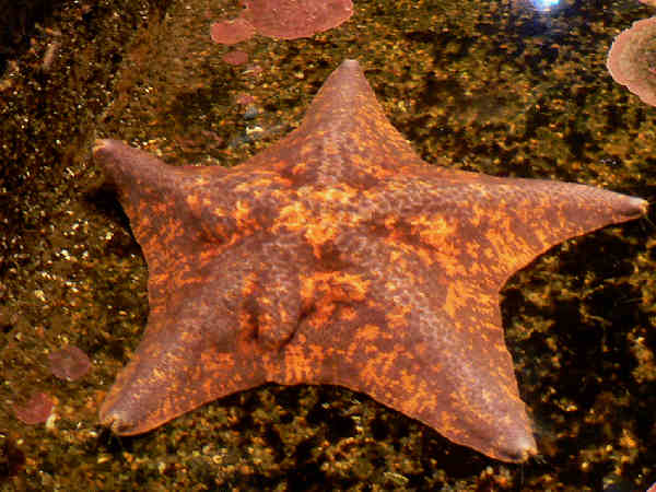 picture of a bat star, Asterina miniata