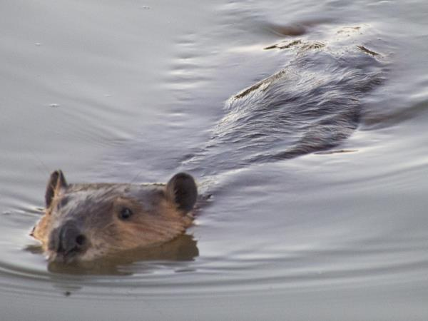 picture of a beaver, state mammal of New York, New York wildlife