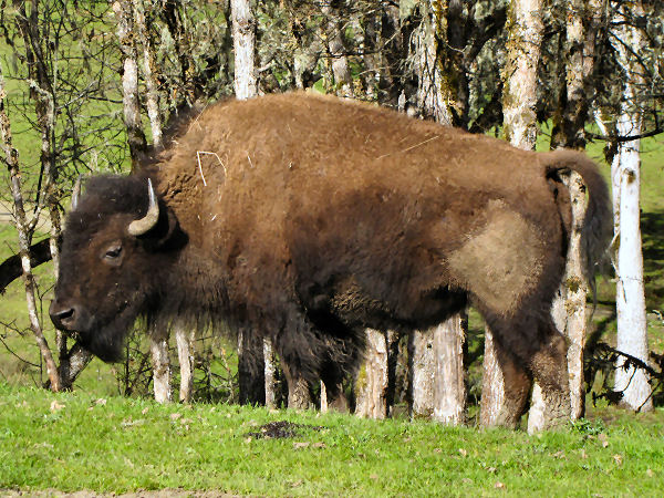 picture of a bison