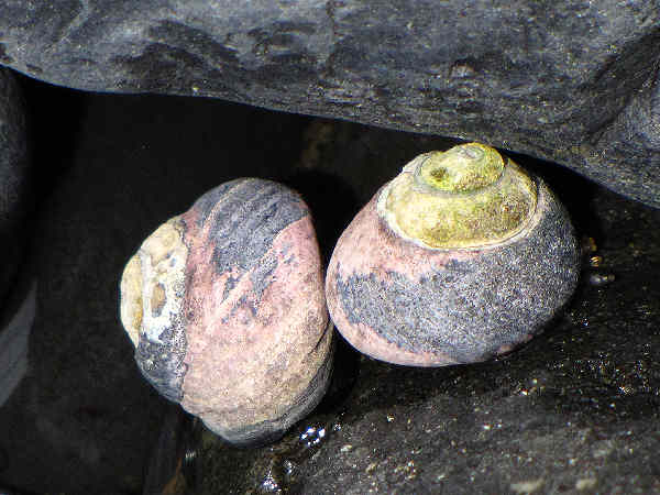 picture of a Black Turban Snail
