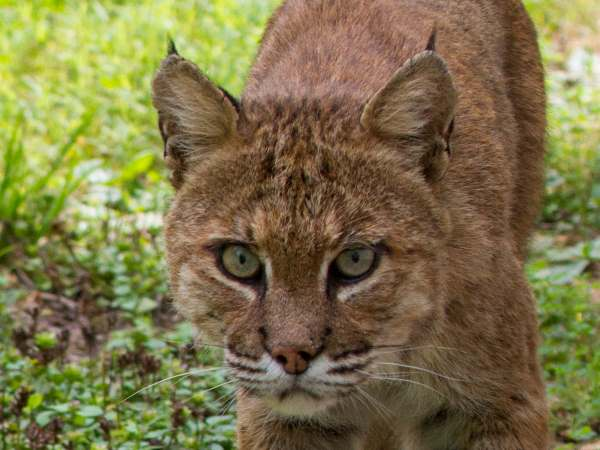 picture of a bobcat, Illinois wildlife