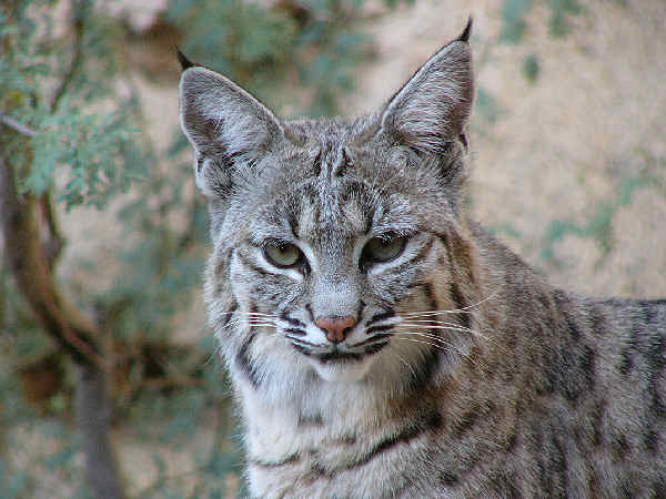 picture of a bobcat