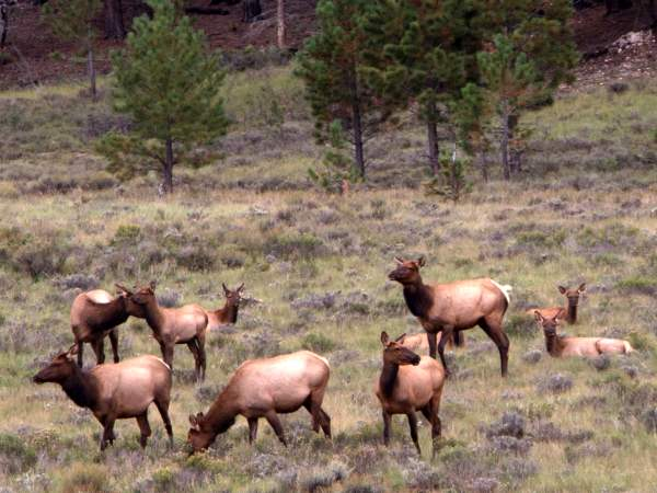 picture of a herd of elk at Bryce Canyon, Utah wildlife