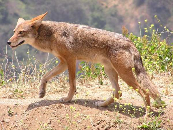 picture of a coyote, Illinois wildlife