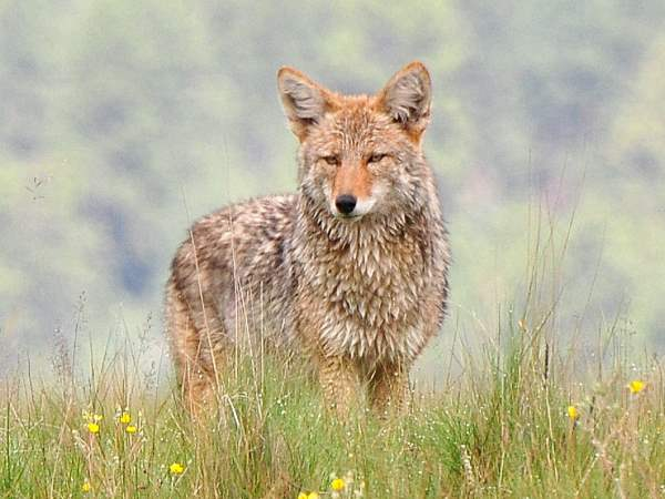 picture of a coyote in New Mexico, New Mexico animals, credit Larry Lamas, Flickr