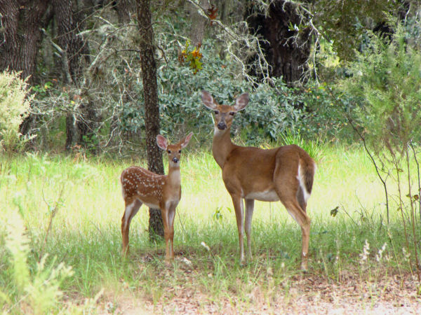 picture of a white-tailed deer and baby