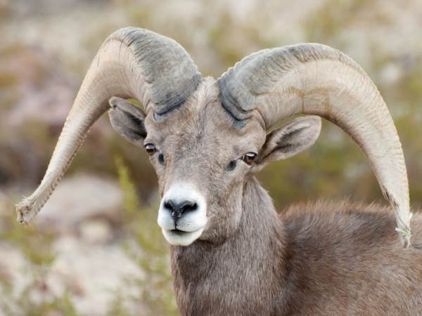 picture of a Desert Bighorn Sheep, Nevada wildlife