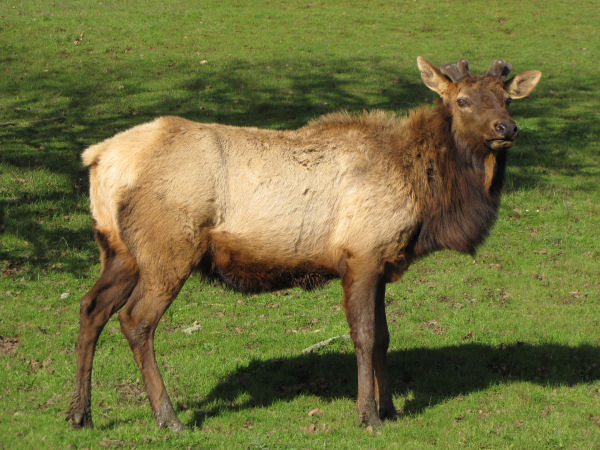 picture of a male roosevelt elk
