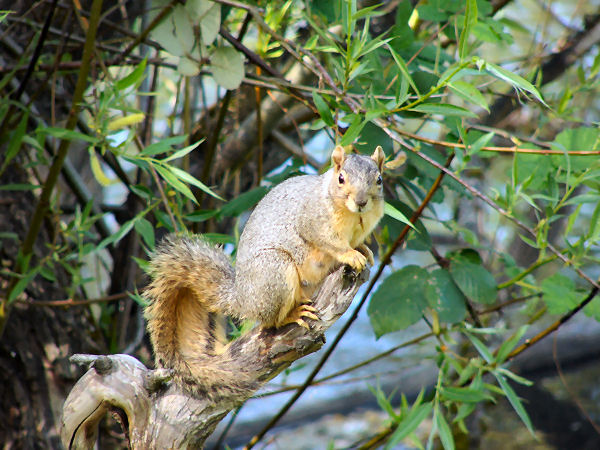 picture of a fox squirrel