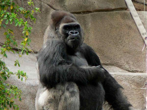 picture of a gorilla