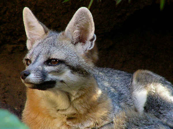 picture of a gray fox