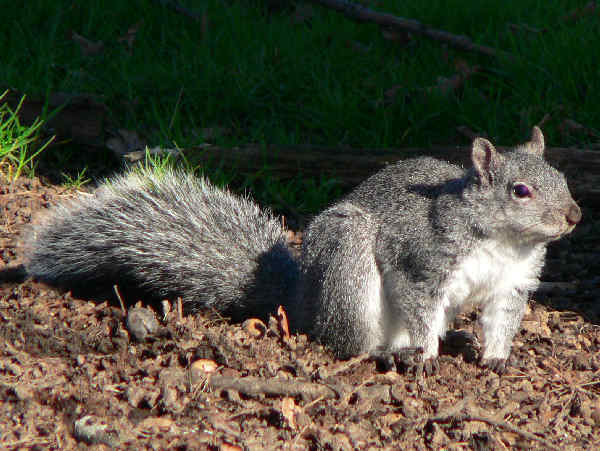 picture of a gray squirrel