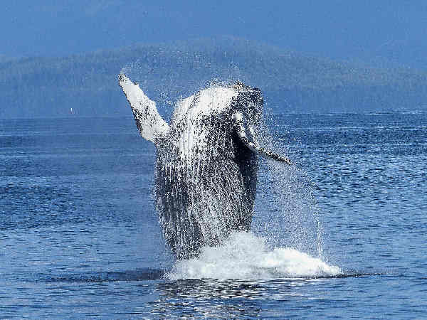 picture of a breaching humpback whale