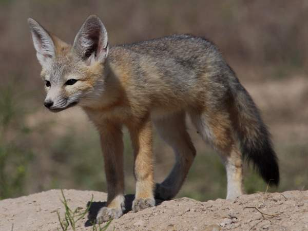 picture of a kit fox in Utah