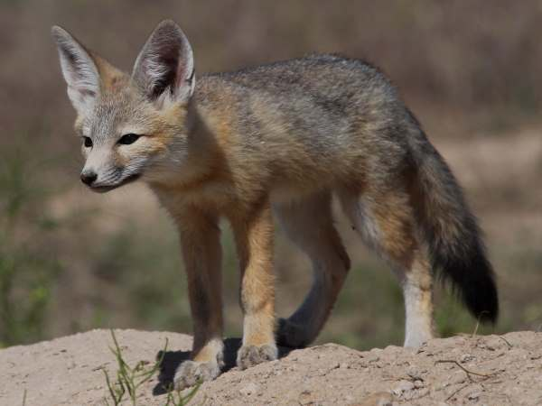 picture of a Kit Fox, part of Arizona wildlife section