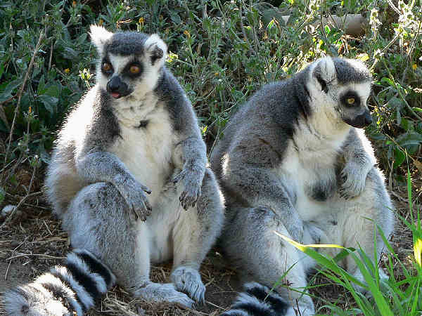 picture of a pair of ring-tailed lemurs