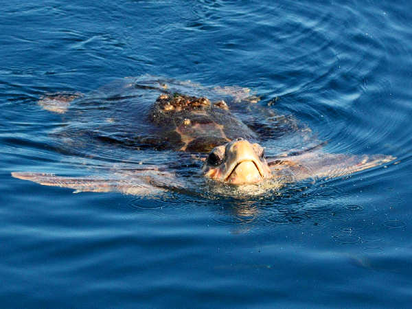 picture of a loggerhead sea turtle swimming in the ocean
