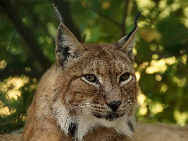 picture of Canadian Lynx