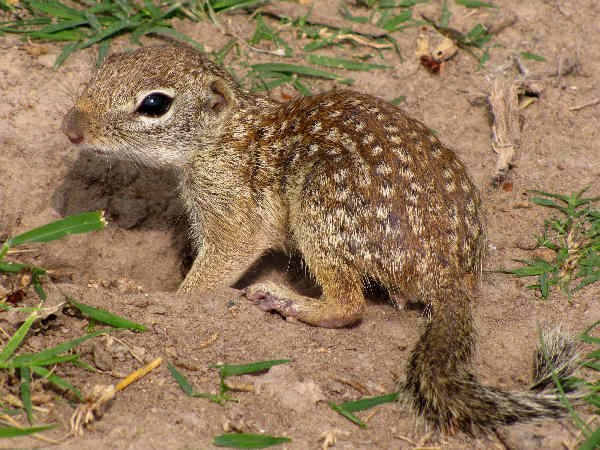 picture of a Mexican Ground Squirrel