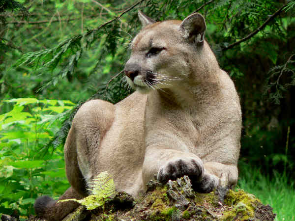 picture of a Mountain Lion for Pennsylvania wildlife
