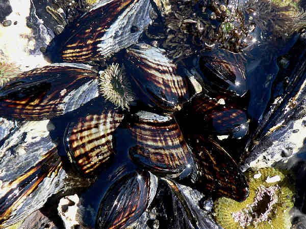 picture of mussels or a mussel bed