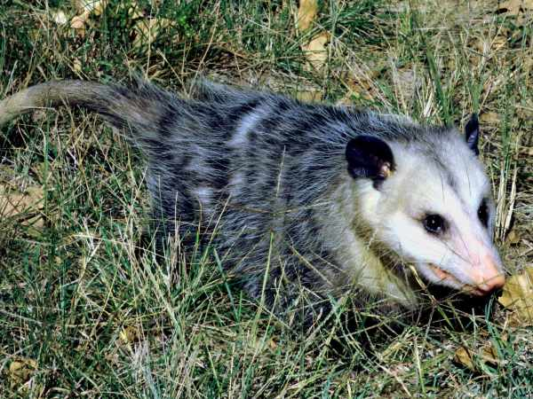picture of an opossum in the yard