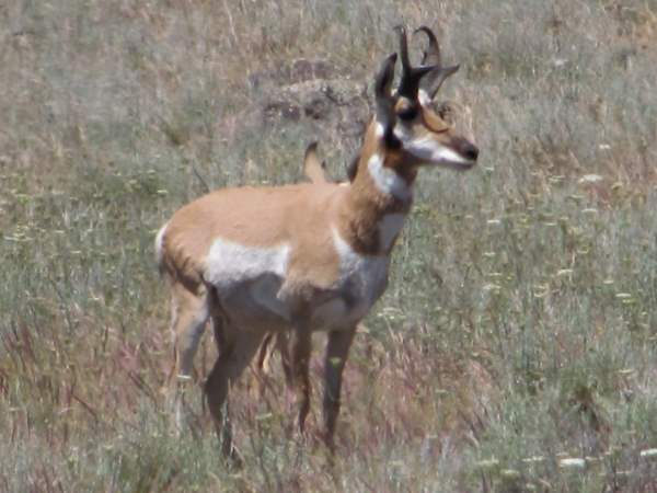 picture of a Pronghorn antelope, Nevada wildlife