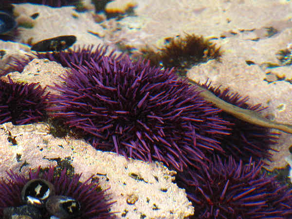picture of a purple sea urchin