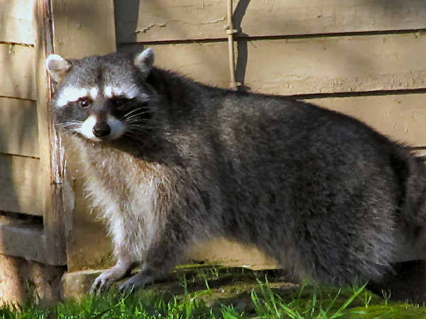 picture of a raccoon