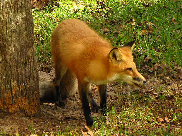 picture of a red fox, wild dogs
