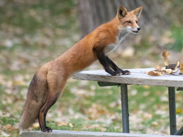 picture of a Red Fox at the picnic table, Michigan wildlife