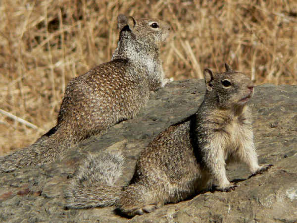 picture of a pair of rock squirrels