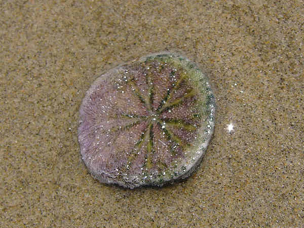 picture of a sand dollar at low tide