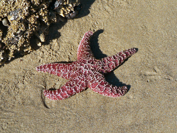 picture of a Pisaster ochraceus starfish, part of the Washington wildlife series