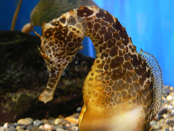 pictures of a seahorse