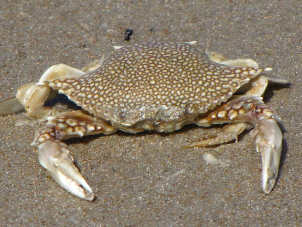 Speckled crab