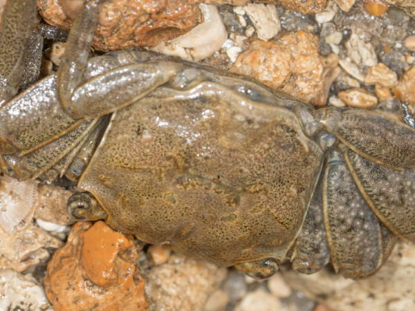 Squareback Marsh Crab