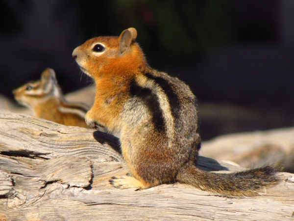 picture comparing a chipmunk and a squirrel, highlighting the fact that chipmunks have stripes on their face
