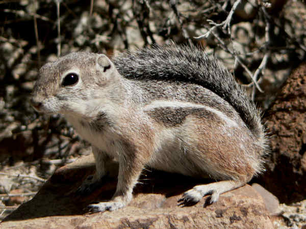 pictureof an Arizona squirrel with a stripe