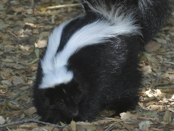 picture of a striped skunk, part of the Maryland wildlife collection