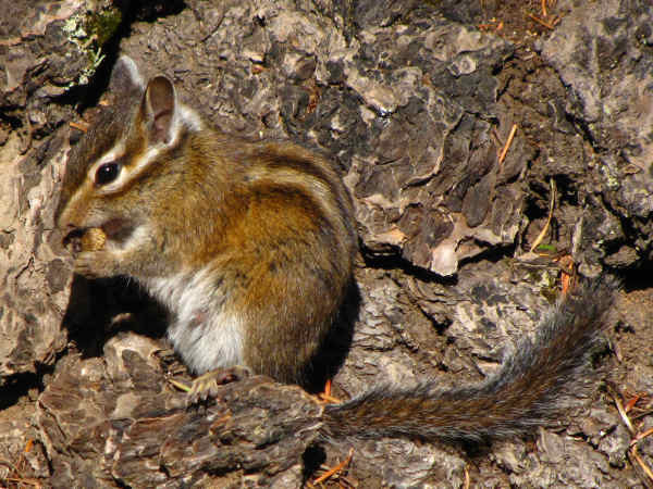 picture of a townsend's chipmunk