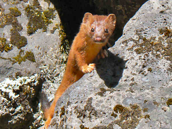 picture of a long-tailed weasel in a rock pile