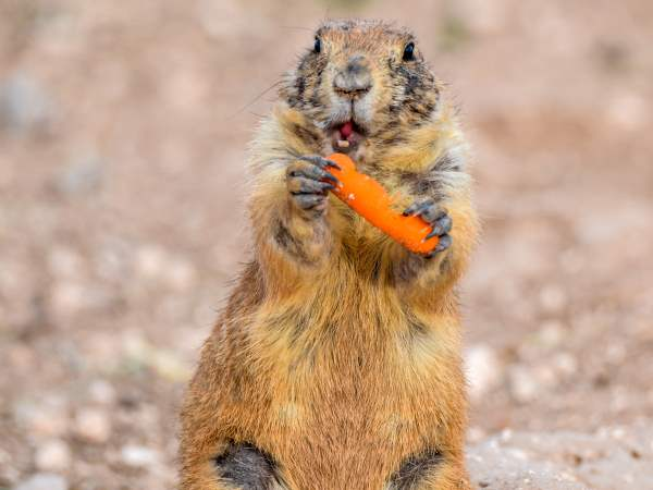 picture of a Prairie Dog for the animals section, nature pictures